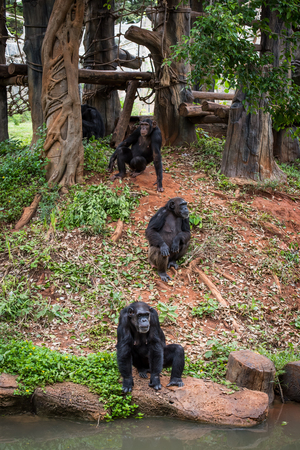 beg: Chimpanzees in zoo beg food from tourists