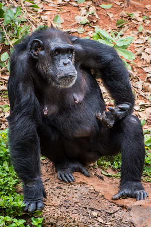 chimpances: Chimpancés en el zoológico piden comida de los turistas
