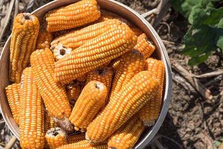 harvests: woman harvests corncobs in the field Stock Photo