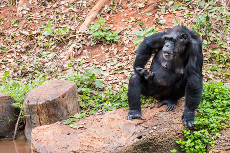 chimpances: Chimpanzees in zoo beg food from tourists