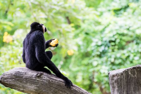 gibbon in zoo waiting for food from zookeeper Stock Photo