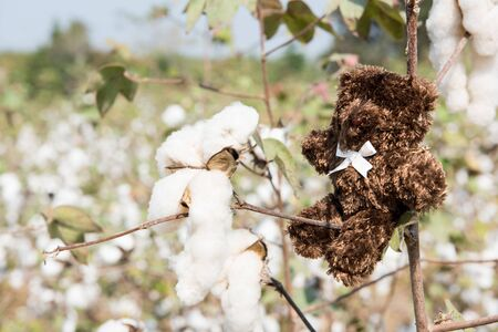 doll bear sitting in the cotton fields Stock Photo