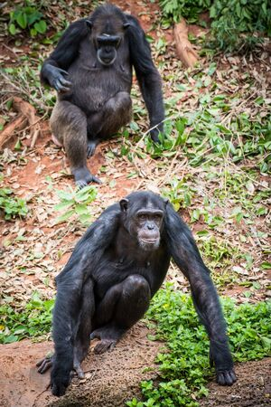 Chimpanzees in zoo beg food from tourists
