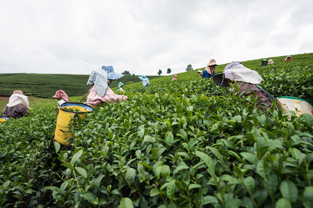 Chaingrai,Thailand;December 8: worker collect the new tea leaves in tea field highland in Chaingrai 8 December 2015. Tea in Chaingrai is organic tea and good flavor and smell. Stock Photo