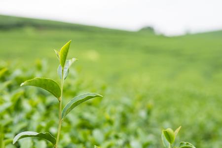 Organic tea growth in highland Stock Photo