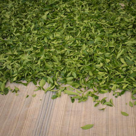 dried green tea process,as background