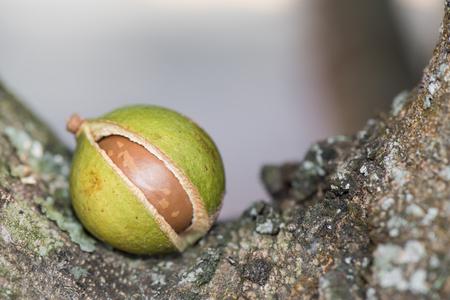 Green macadamia nut  on tree.