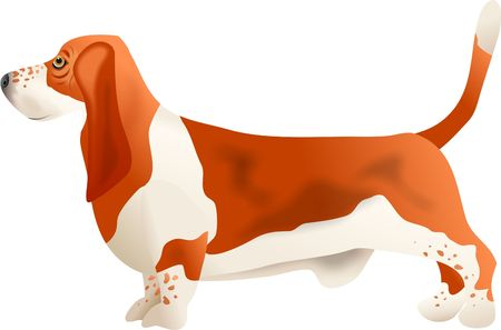 basset hound: basset hound Stock Photo