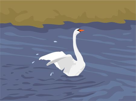 flapping: swan flapping wings in the water