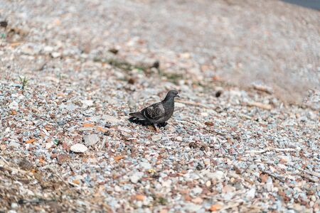 A small bird standing on a rocky beach gray pigeon
