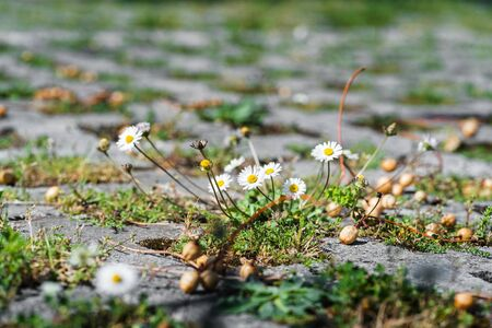 Daisies grow on asphalt plant and city