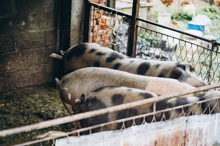 White-black pigs in the piggery on the farm