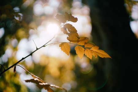 Autumn yellow oak leaf in the sun