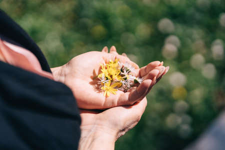 Wildflowers of chamomile in womens hands open palms