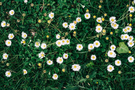 Daisies against the background of green grass view from above Standard-Bild