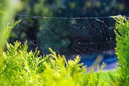 cobwebs: Concept of autumn season. Spider cobwebs on the plant