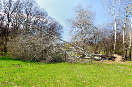natural disasters: Concept of natural disasters. Fallen tree with roots after hurricane Stock Photo