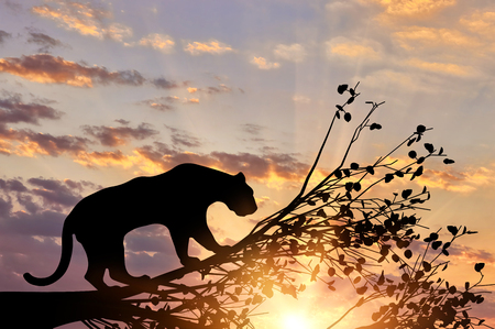 Jaguar animal from a tree on a sunset background