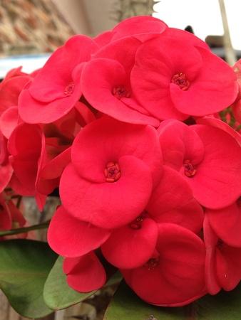 euforia: Euforia floreci� plenamente. Blazing rojo.