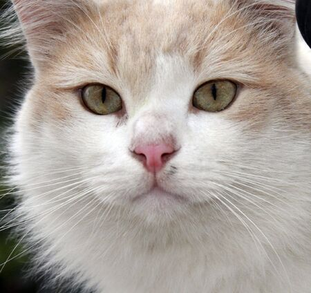 pink pussy: A cute white stray cat staring intently  Stock Photo