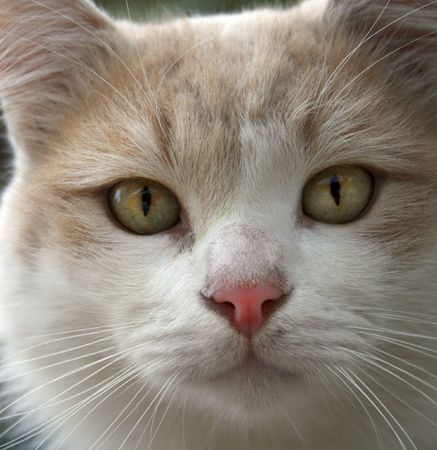 A cute white stray cat staring intently  Stock Photo