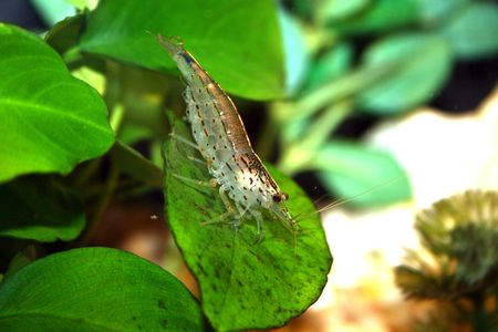 freshwater aquarium plants: A single shrimp in a freshwater aquarium Stock Photo