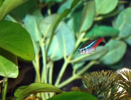 neon tetra: A single neon tetra tropical fish in aquarium