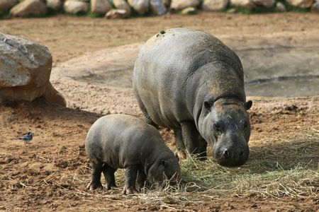 samll: A mother and  hippo eating