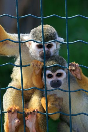 Sad caged monkeys behind bars