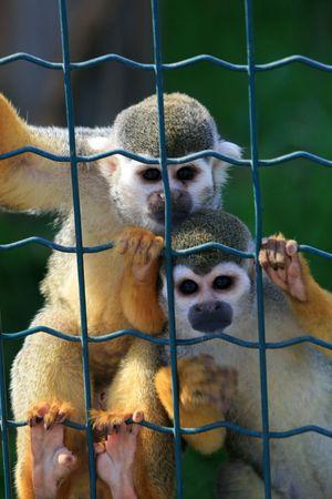Sad monos enjaulados tras las rejas  Foto de archivo