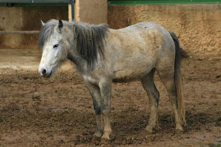 A young white pony covered in mud Stock Photo - 2685191