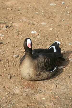 white fronted goose: A lesser white fronted goose resting.  Found in Arctic Eurasia, Northern Greece, and Hungary.  This is a rare and endangered species.  Its population has declined over 90% in the 20th century Stock Photo