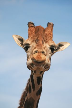 A Baringo Giraffe . They can be found from West to East Africa, Angola, Namibia, Botswana, Zimbabwe. Stock Photo