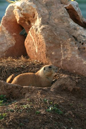 great plains: A black tailed prairie dog. Lives in  the great plains of West America and can be found all the way to  North Mexico.  In the past they were subject to extermination, as their eating habits led to massive destruction of cereal crops. Today populations are Stock Photo