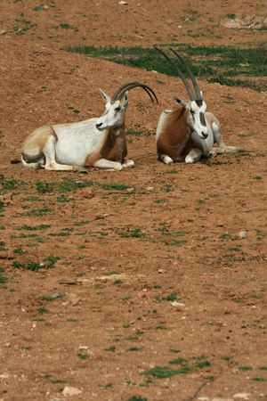 survives: African savvanah animal: Scimitar horned oryx.  This species was hunted almost to extinction and survives only in a reserve in Chad and zoological parks.