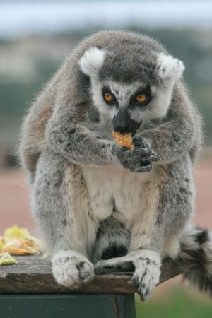 nose ring: A ring tailed lemur having a snack.