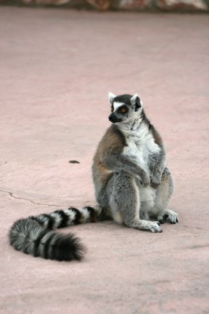 ring tailed: A ring tailed lemur.