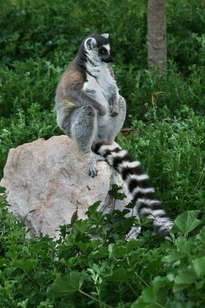 nose ring: A lemur sitting on a rock.