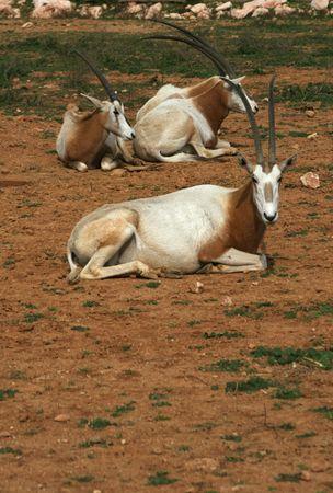 scimitar: African savvanah animal: Scimitar horned oryx.