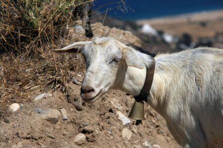 ios: Goat, Ios island, Greece