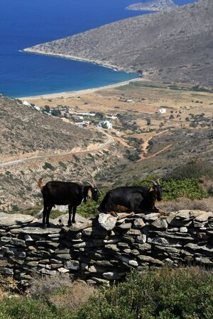 Goats at the island of Ios Greece