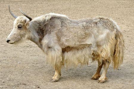 A tibetian yak - standing body posture Stock Photo