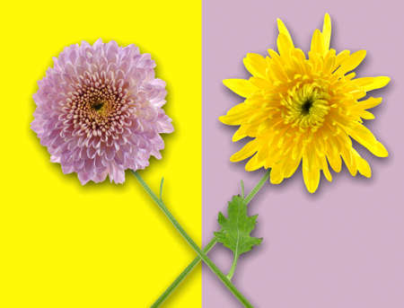 Two flowers in oposit color background Stock Photo