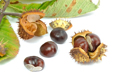 Wild Chestnut or Horse Chestnut - Aesculus hippocastanum - venous circulatory failure medication
