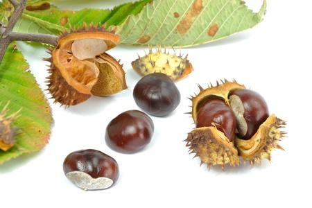 aesculus hippocastanum: Wild Chestnut or Horse Chestnut - Aesculus hippocastanum - venous circulatory failure medication