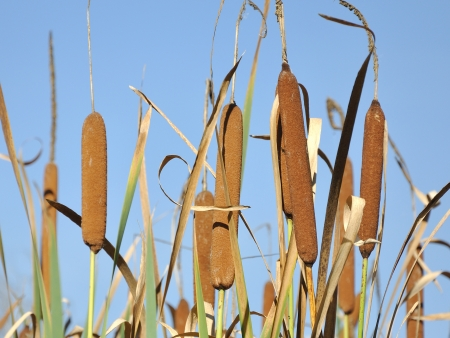 Straw up specimens of Cattails or Typha latifolia - typical plant in swamps and wetlands