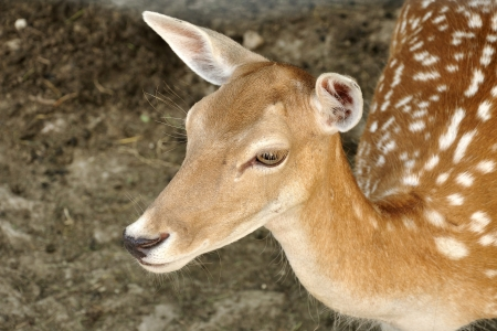 Close up shot of a roe deer fawn
