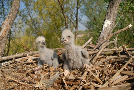 White-tailed eagles in the nest
