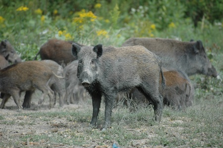 Wild boar in the woods Stock Photo - 10632597