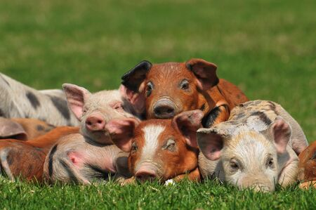 beautiful colorful pigs on the grass